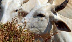 Abate de bovinos cai e o de suínos e frangos…