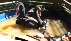 Nascem três filhotes de cisnes negros no parque do Museu…