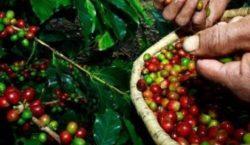 Café mineiro vai contar com maior volume de recursos da…